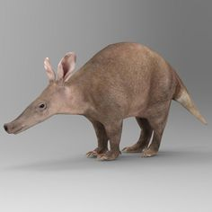 aardvark orycteropus afer max