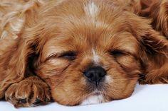 cavalier-king-charles-spaniel-puppy-sleeping-in-studio-close-up-martin-harvey.