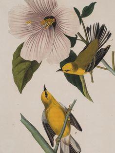 inland-delta: John James Audubon, Blue-winged Warbler, 1840