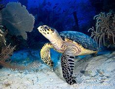 Turtle,  Jardines de la Reina, Cuba