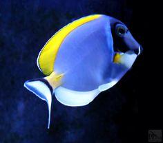 Blue Tang, Coral Garden, Underwater Pictures, Beautiful Fish, Aquariums, Tanks, Powder, Tropical, Swimming