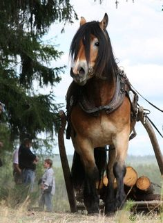 "The North Swedish Horse (Swedish: Nordsvensk) is a small heavy horse originating in Sweden. According to different sources, it is considered a light draft horse or a ""universal type horse"". The breed also has lighter lines, bred for harness racing. The North Swedish Horse is active and tough. It is still used for forestry work."