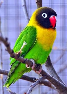 The yellow-collared lovebird (Agapornis personatus), also called masked lovebird or eye ring lovebird. Native to northeast Tanzania.