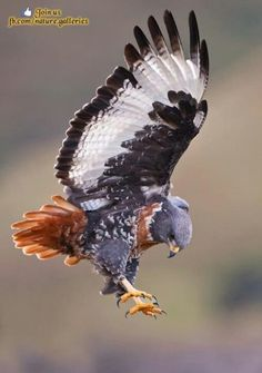 Ornate Hawk- Eagle