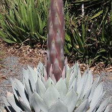J. C. Raulston Hardy Century Plant for sale buy Agave parryi 'J.C. Raulston'