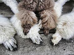 love poodle feet