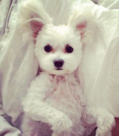Maltese...I love it when they lay on their back and their ears flop up like bunny ears!