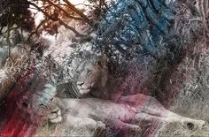 Lions 2-Rainbow Series by Arno Elias. #Photograph on metallic paper. 44 x 60 inches. Price on Request. #lion #love #art
