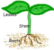 5th Grade Science - Plant Parts.  Super cute activity on what parts of certain plants we eat - roots, leaves, and stems!