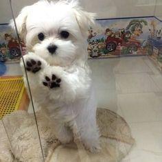 maltese dog #Maltese