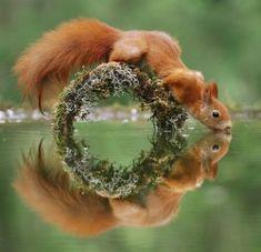 Écureuil assoiffé