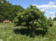 Terttuselja, Sambucus racemosa - Puut ja pensaat - LuontoPortti
