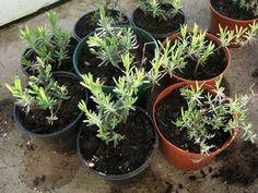 Vamos a ver a continuación como podemos reproducir plantas de lavanda por esquejes. Con este método estamos clonando la planta, es decir el esqueje reproducirá exactamente las características de la planta madre.