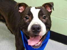 SAFE 01/09/15! Manhattan Center -P.My name is GREGORY. My Animal ID # is A1023718. I am a male black and white pit bull mix. The shelter thinks I am about 2 YEARS. For more information on adopting from the NYC AC&C, or to  find a rescue to assist, please read the following: http://urgentpetsondeathrow.org/must-read/