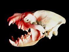 Skull of a hyena, Crocuta crocuta