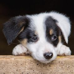 Border Collie Pup by Rory Trappe