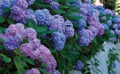 Big Flowers from Bigleaf Hydrangeas