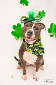 3 / 18    Petango.com – Meet Mama, a 5 years 1 month Terrier, Pit Bull / Mix available for adoption in Baltimore, MD Address  301 Stockholm Street, Baltimore, MD, 21230  Phone  (410) 396-4695  Website  http://www.baltimoreanimalshel ter.org  Email  info@baltimoreanimalshelter.or g