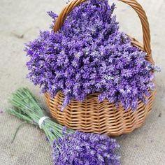 Lavender Seeds, Lavender Cottage, Lavender Garden, Lavander, Lavender Blue, Lavender Flowers, Purple Flowers, Beautiful Flowers, Planting Lavender