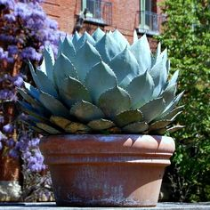 Artichoke Agave - Individual plants grow slowly to 2' tall by 3' wide. This is one of the cold hardiest of the agaves and will grow in drier areas of Zones 5-11.  Propagate by seed or removing offshoots from the base in spring.