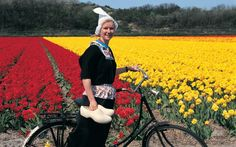 """History of Tulips in Holland (via Holland.com)  """"Originally cultivated in the Ottoman Empire (present-day Turkey), tulips were imported into Holland in the sixteenth century. When Carolus Clusius wrote the first major book on tulips in 1592, they became so popular that his garden was raided and bulbs stolen on a regular basis.""""  http://www.holland.com/us/tourism/article/history-of-tulips-in-holland.htm"""