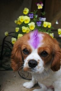 Cutegreggator: Dogs With Mohawks King Charles Spaniel, Cavalier King Charles, Dog Dye, Mohawks, Adorable Dogs, Animal Cruelty, Spaniels, Puppy Love, Wigs