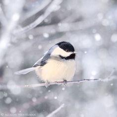 Allison Trentelman Chickadee in Snow