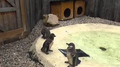 These are the penguin babies held at london zoo. Adorable !  #cute