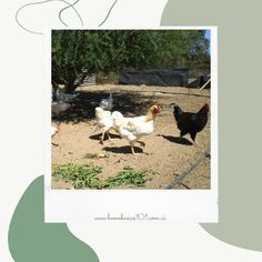 If you're still unsure, do not worry! We've got you covered. Today we would like to share with you our 6 month journey of having hens! Here we dive into some tips and tricks that we have picked up on during our very own journey!Follow the link below to see how we handled the first 6 months of mother hen hood! Farm Fun, Hens, Farm Animals, 6 Months, Your Pet, Journey, Chicken, Friends, Health