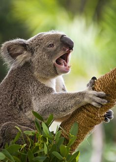 Koala Roar! Koalas are cute, but their vocalizations aren't. The bellow of a male sounds like a mixture of a motorcycle revving and a pig snorting.