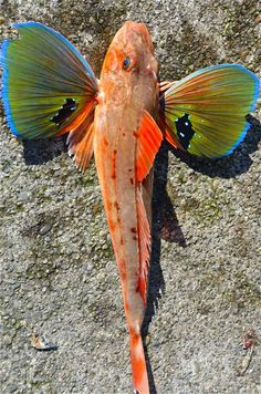 "Sea Robin, also called gurnard, any of the slim, bottom-dwelling fish of the family Triglidae, found in warm and temperate seas of the world. Sea robins are elongated fish with armoured, bony heads and two dorsal fins. Their pectoral fins are fan-shaped, with the bottom few rays each forming separate feelers. These feelers are used by the fishes in ""walking"" on the bottom and in sensing mollusks, crustaceans, and other bottom-dwelling prey."