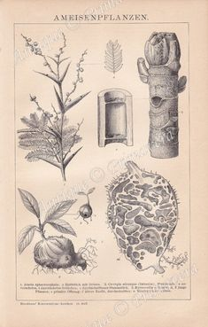 Antique Prints, Vintage Prints, Acacia, Ant Species, Engraving Printing, Bull Horns, Prehistoric Animals, Drawing Techniques, Coat Of Arms