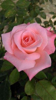 Pretty pink rose Via Pinterest