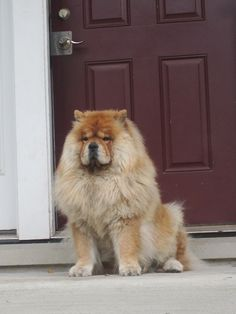 What a beautiful Chow