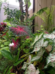 Tropical bulbs such as Caladiums (Caladium 'Red Flash', zones 9 to 11), blood lily (Haemanthus multiflorus, zones 8 to 11) and Siam tulip...