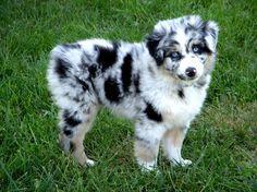 Looks like Oreo when he was a pup! But he had a tail. Mini Australian Shepherds, Australian Shepherd Puppies, Aussie Puppies, Mini Aussie Puppy, Aussie Shepherd, Toy Aussie, Cute Baby Dogs, Cute Dogs And Puppies, Cute Baby Animals