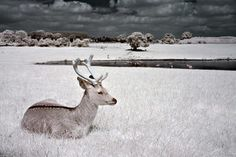 Deer. Infrared Photography.