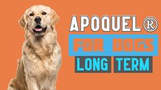 Apoquel® Tablets treat all kinds of pet allergy in small animals including dogs, cats, etc. This article explains the long term advantages and disadvantages of using Apoquel (Oclacitinib) medication in dogs. Pet Allergies, Pollen Allergies, Bacterial Infection, Viral Infection, Antibiotics For Dogs, Gastroesophageal Reflux Disease, Lack Of Energy, Dog Life, Wound Healing