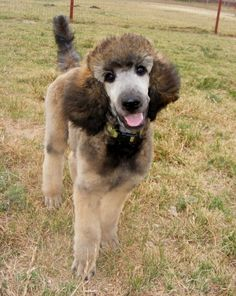 Sable Standard Poodle puppy...fun color