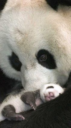 Panda and cub. Pandas feel the same way about their children, but for some reason, todays world has difficulty sustaining them. :( God, that picture is so precious! Nature Animals, Animals And Pets, Wild Animals, Cute Baby Animals, Funny Animals, Baby Pandas, Giant Pandas, Red Pandas, Beautiful Creatures