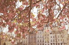 Paris Photography - Spring by the Seine - Pink Cherry Blossoms - Paris Art - Photograph - Paris Home Decor - Blush Pink Paris Home Decor, Paris Art, Cherry Blossom Tree, Blossom Trees, Paris Photography, Beauty Room, Spring Time, Pretty In Pink, Blush Pink