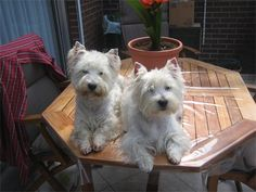 Love the westie, just adopted a baby westie