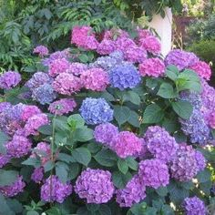 Imported from China and Japan, the Hydrangea macrophylla is part of a huge family of shrubs. grow well in full sunlight to partial shade. Blooms during spring and summer. Hydrangea Macrophylla, Hortensia Hydrangea, Hydrangea Bush, Blue Hydrangea, Hydrangea Care, Hydrangea Types, Growing Hydrangea, Hydrangea Plant, Perennials