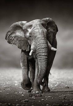 Bull Elephant, Elephant Canvas, Elephant Wall Art, Elephant Design, Elephant Photography, Art Photography Portrait, Canvas Wall Art, Canvas Prints, Art Prints