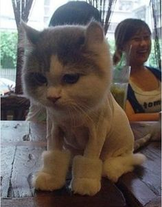 {Uggs boots - shaved cat} not a fan of cats but this is just too cute, and funny as he does not seem pleased. Baby Animals, Funny Animals, Cute Animals, Animal Babies, Funny Dogs, Crazy Cat Lady, Crazy Cats, Chat Bizarre, I Love Cats