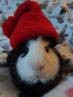 Another Christmas piggy! Look at this sweet face!