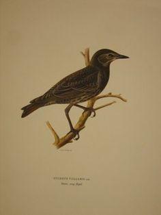 "swedish birds swedish 19thC hand coloured lithograph 11 x 15"" $125 - 13"