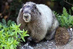 http://10000birds.com/hoary-marmot-marmota-caligata-at-mount-rainier.htm