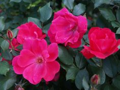 Low care roses – Ramblin' through Dave's Garden Knockout Roses, Rose Varieties, Cut Flowers, Shrubs, Bloom, Garden, Plants, Red, November
