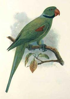 Seychelles Parakeet (Psittacula wardi). ExTINCT.